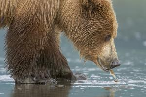 A Grizzly Bear, Ursus Arctos Horribilis, Pulls Apart a Clam by Barrett Hedges