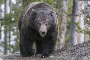 A Grizzly Bear, Ursus Arctos Horribilis, Walks on a Trail by Barrett Hedges
