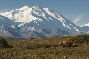 A Grizzly Bear, Ursus Arctos, Searches for Berries in the Fall in Denali National Park by Barrett Hedges