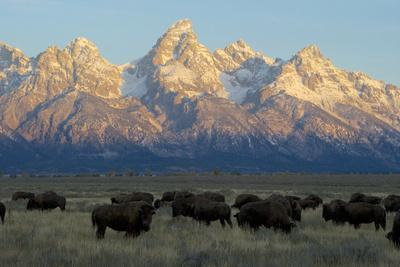 A Herd of Bison Move Through a Field as the Sun Rises on the Grand Tetons