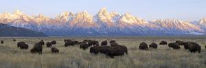 A Large Herd of Bison Moves across the Open Range of the Tetons by Barrett Hedges