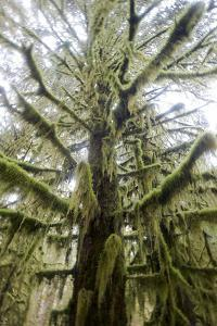 A Moss Covered Tree Gives Off an Eerie Look by Barrett Hedges