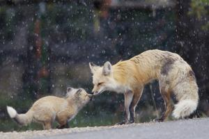 A Mother Red Fox, Vulpes Vulpes, and Kit Nuzzle Each Other by Barrett Hedges
