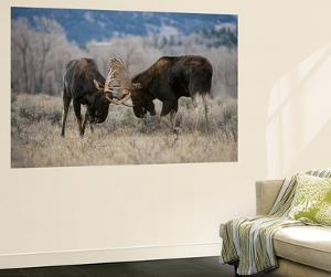 A Pair of Bull Moose, Alces Alces, Lock Antlers in the Sage Brush of Grand Teton National Park by Barrett Hedges