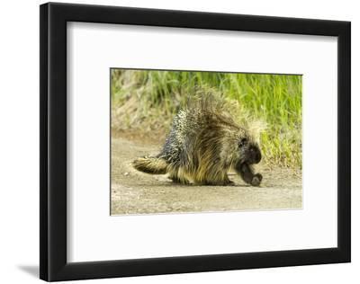 A Porcupine Walks on a Dirt Path