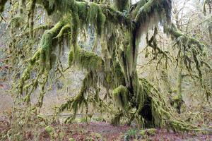 A Tree Is Enshrouded in Moss by Barrett Hedges