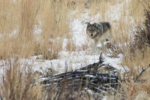 A Young Gray Wolf, Canis Lupus, Walking Through Tall Grass and Snow by Barrett Hedges
