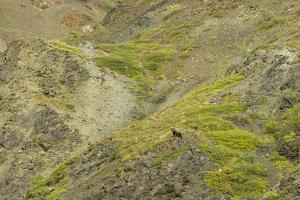 Aerial View of a Distant Grizzly Bear on Green, Rocky Terrain by Barrett Hedges