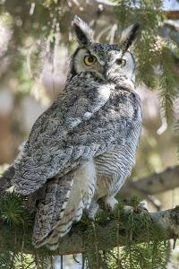 An Alert Great Horned Owl, Bubo Virginianus, Rests on a Tree Branch by Barrett Hedges