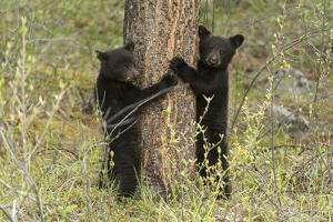 Black Bear Cubs, Ursus Americanus, Hug a Tree While Looking for their Mother by Barrett Hedges
