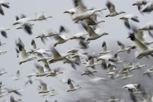 Blurred Action Shot of Snow Geese in Midflight by Barrett Hedges