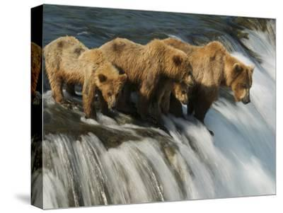 Brown Bear Family Patiently Waiting for Salmon