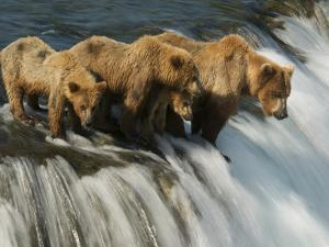 Brown Bear Family Patiently Waiting for Salmon by Barrett Hedges