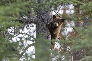High Up in the Tree, a Black Bear Cub, Ursus Americanus, Looks for its Mother by Barrett Hedges
