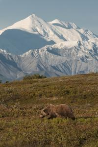 Mount McKinley Looms Above a Grizzly Bear, Ursus Arctos, in Backcountry of Denali National Park by Barrett Hedges