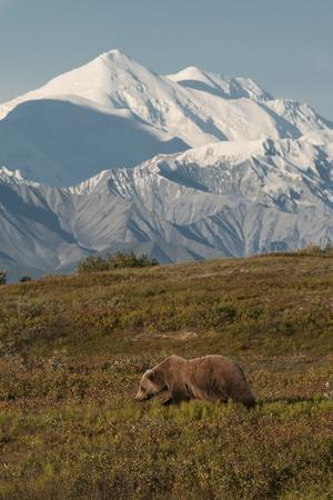 Mount McKinley Looms Above a Grizzly Bear, Ursus Arctos, in Backcountry of Denali National Park