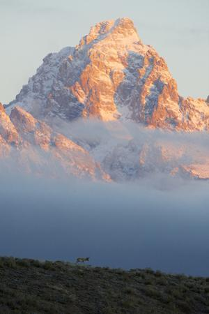 On a Beautiful Morning, a Pronghorn Walks a Ridge as the Grand Teton Rises from the Clouds by Barrett Hedges
