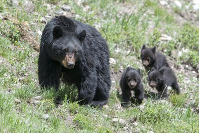 Three Black Bear Cubs, Ursus Americanus, Follow Closely Behind their Mother.