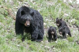 Three Black Bear Cubs, Ursus Americanus, Follow Closely Behind their Mother. by Barrett Hedges
