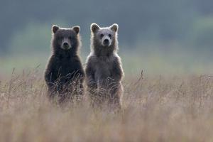 Two Brown Bear Spring Cubs Standing Side-by-side in Curiosity by Barrett Hedges