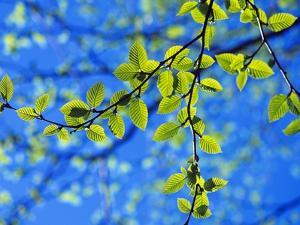 Spring Leaves, Irving Nature Park, Saint John, New Brunswick, Canada by Barrett & Mackay