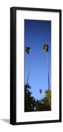 Palm Trees, Sinaloa, Baja California