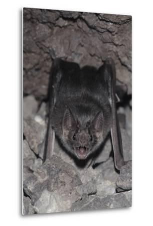 Common Vampire Bat (Desmodus Rotundus) at Roost, Sonora, Mexico