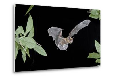 Evening Bat (Nycticeius Humeralis) in Flight with Mouth Open, North Florida, USA