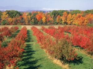 Fruit Orchard in the Fall, Columbia County, NY by Barry Winiker