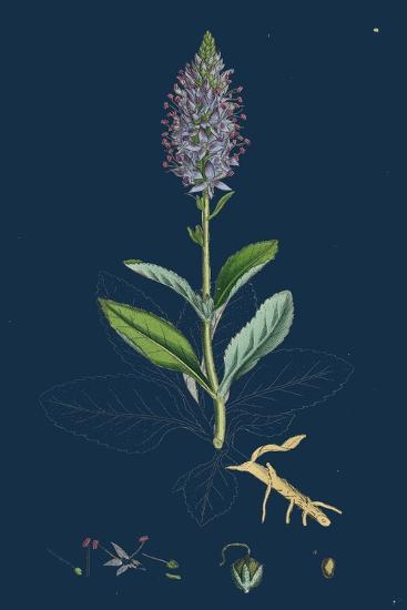 Bartsia Alpina; Alpine Bartsia--Giclee Print