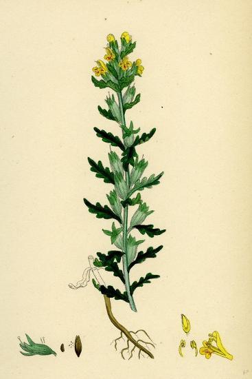Bartsia Viscosa Yellow Bartsia--Giclee Print