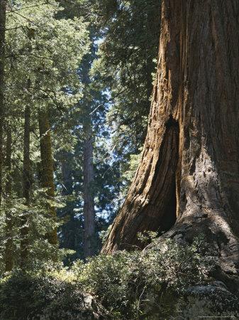 https://imgc.artprintimages.com/img/print/base-of-a-sequoia-tree-in-sequoia-national-park_u-l-p5w9u80.jpg?p=0