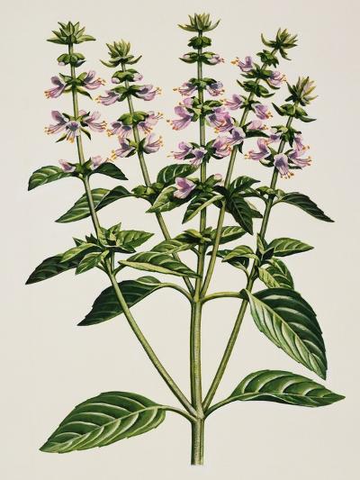 Basil or Thai Basil (Ocimum Basilicum), Lamiaceae--Giclee Print