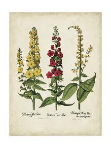 Besler Florilegium III by Basilius Besler