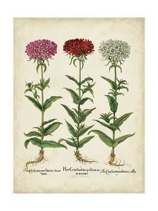 Besler Florilegium IV by Basilius Besler