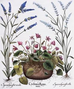 Cyclamen and Lavender Engraving by Georg Dionysius Ehret, from The Hortus Eystettensis by Basilius Besler