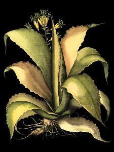 Dramatic Aloe II by Basilius Besler