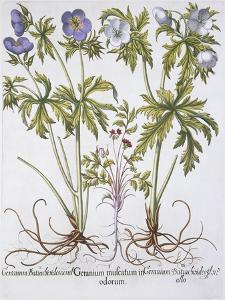Geranium Muscatum by Basilius Besler