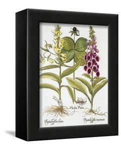Herb Paris, Common Foxglove and Large Yellow Foxglove by Basilius Besler