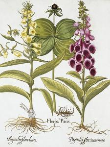 Herb Paris, Common Foxglove and Large Yellow Foxglove by Basilius Besler