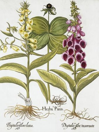 Herb Paris, Common Foxglove and Large Yellow Foxglove