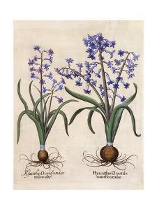 Hyacinthus Orientalis by Basilius Besler