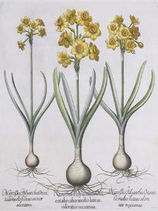 Narcissis Polyanthus by Basilius Besler