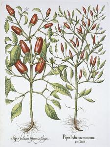 Piper Indicum by Basilius Besler