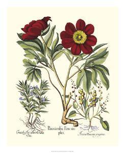 Red Besler Peonie IV by Basilius Besler