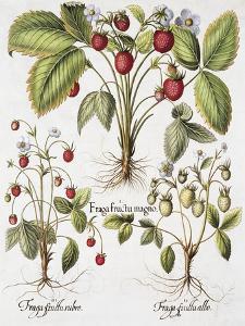 Three Varieties of Strawberry by Basilius Besler