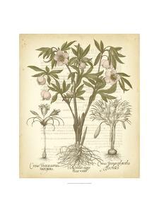 Tinted Besler Botanical I by Basilius Besler
