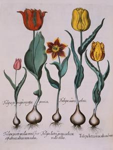 Tulipa, Engraving by Basilius Besler