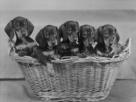 Basket of Puppies-Thomas Fall-Photographic Print