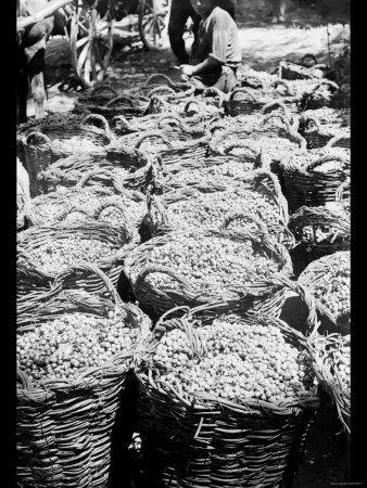 Baskets of Wine Grapes at Richon le Zion--Photo